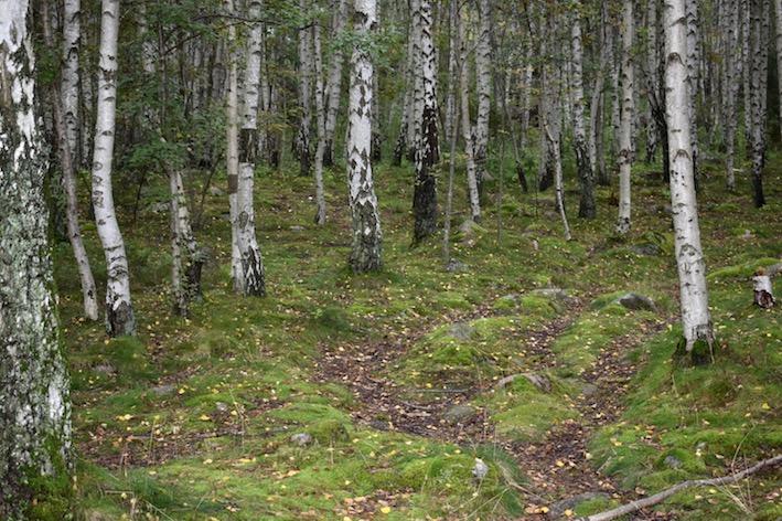 skogsbad björkar Malin Lundskog