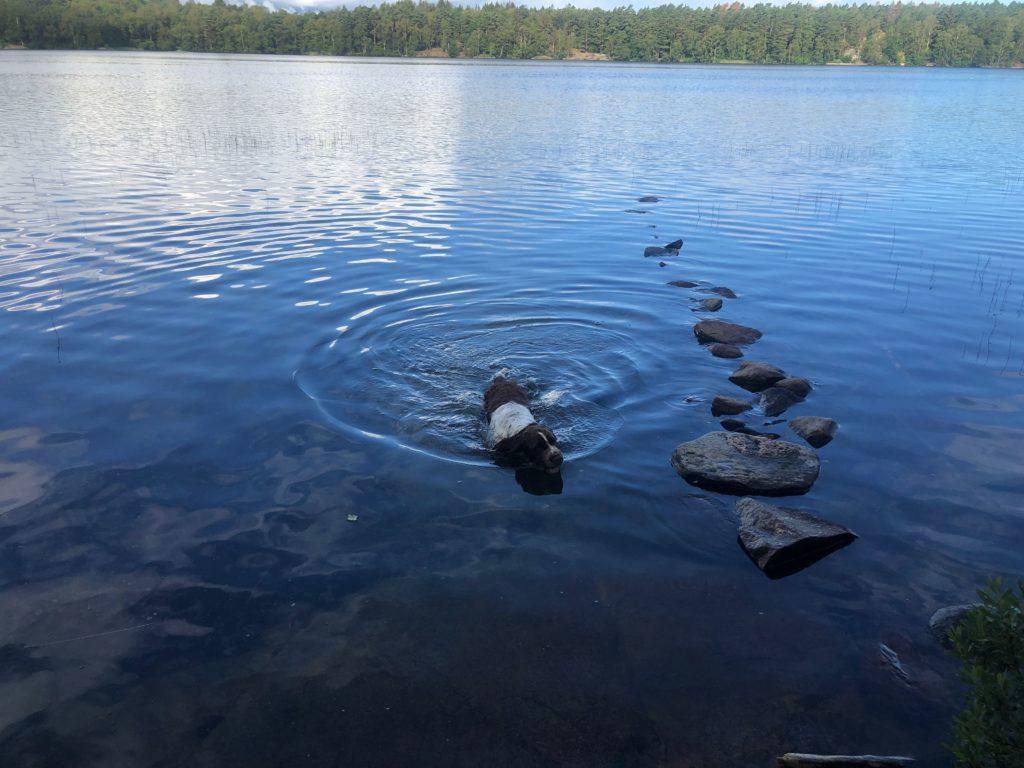 springer spaniel, bada, hälsa, sjö