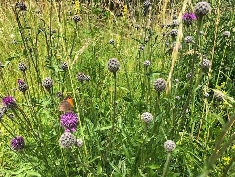 vandring i vacker natur gör underverk för hälsan, Kinnekulle, fjärilar
