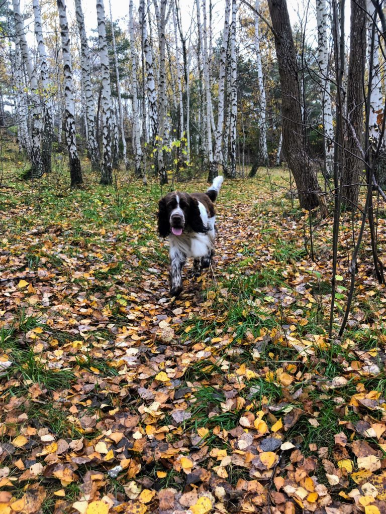 hållbarhet och hälsa, springer spaniel, skog, natur, Malin Lundskog