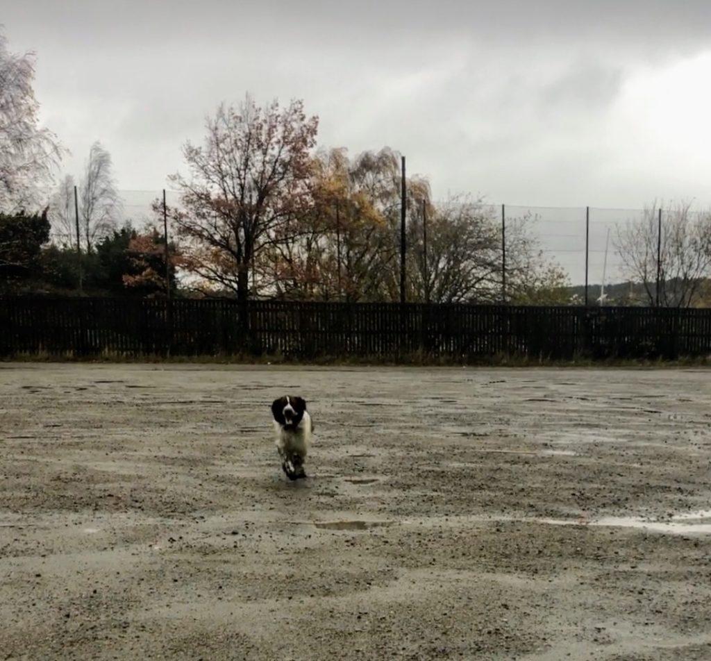Intervallträning för dig som springer med hund, springer spaniel, Malin Lundskog