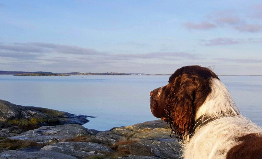 en vandring på Hisingen, springer spaniel, Sillviks naturreservat
