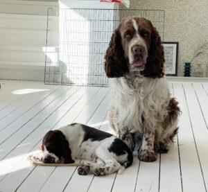 Brorsan och Jackson, springer spaniel, valp, hund, Malin Lundskog, Knippla